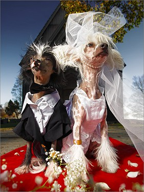 Two_Chinese_Crested_Dogs_in_wedding_costumes