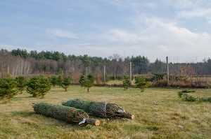 Trees are netted before being brought home at Greenwood Tree Farm (NewBostonPost, photo by Beth Treffeisen)