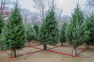 Precut Christmas trees are supported to stand up right to allow customers to feel like they are choosing a