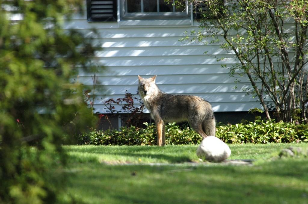 A coyote roams through a suburban lawn (photo courtesy of John Maguranis)