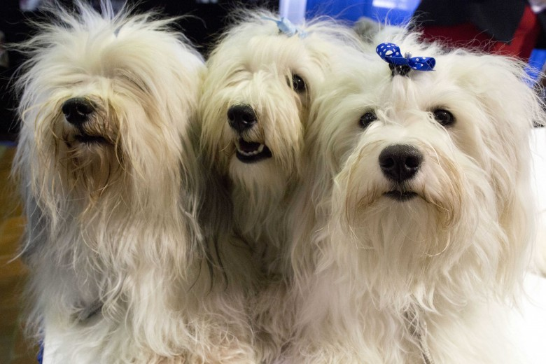 Westminster Dog Show Havanese
