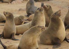 Arctocephalus_pusillus_(Cape_fur_seals)