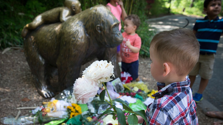 A boy brings flowers to put beside a statue of a gorilla outside the shuttered Gorilla World exhibit at the Cincinnati Zoo & Botanical Garden, Monday, May 30, 2016, in Cincinnati. A gorilla named Harambe was killed by a special zoo response team on Saturday after a 3-year-old boy slipped into an exhibit and it was concluded his life was in danger. (AP Photo/John Minchillo)