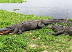 alligator disney