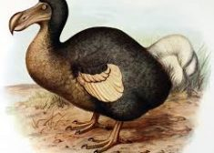 Dodo Bird Image — Wikipedia — Saved Tuesday 7-26-2017