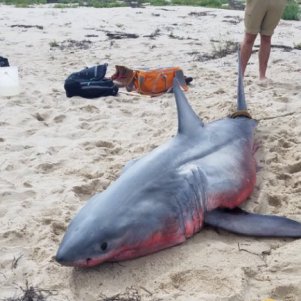 Great White Shark Washes Up in Truro