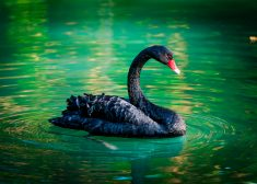 black swan In a pond