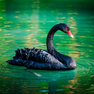 The COVID-19 Pandemic:  A Classic Example of a Black Swan